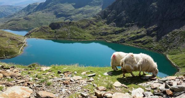 View over a lake in Snowdonia with sheep in the foreground